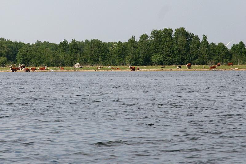 Veised Väike-Pakri rannal
